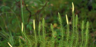 Бухалчест плаун Lycopodium clavatum L.
