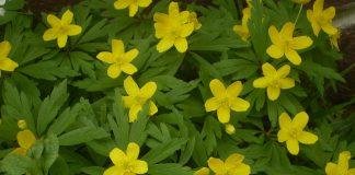 Жълта съсънка Anemone ranunculoides