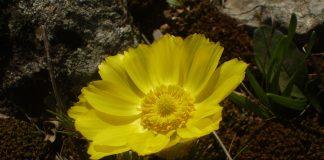 Гороцвет Adonis vernalis L.