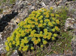Златовръх Rhodiola rosea L. (Sedum roseum (L.) Scop.)