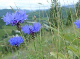 Синя метличина Centaurea Cyanus