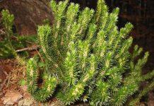 Иглолистен плаун Lycopodium selago L.