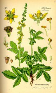 Камшик Agrimonia Eupatoria