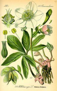 Кукуряк Helleborus odorus W. et K.