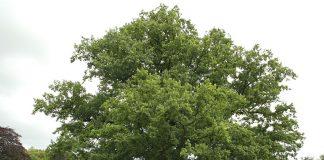 Летен дъб Quercus robur L. (Q. peduncuiata Ehrh)
