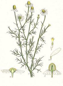 Лайка Matricaria Chamomilla