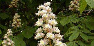 Конски кестен Aesculus hippocastanum L.