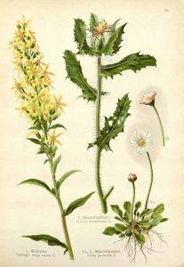 Пресечка Cnicus benedictus L.