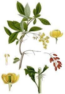 Кисел трън Berberis vulgaris L.