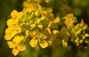 Обикновена злина Barbarea vulgaris R. Br.