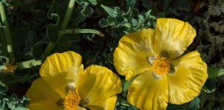 Жълт рогатец Glaucium flavum L.