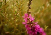 Блатия (върболист) Lythrum salicaria L.
