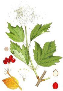 Калина Viburnum opulus L.