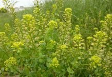 Горуха Lepidium perfoliatum L
