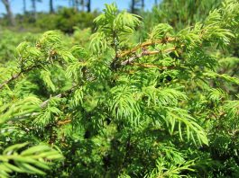Сибирска хвойна Juniperus sibirica Burgs