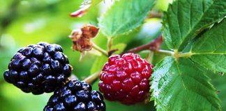 Къпина Rubus L.