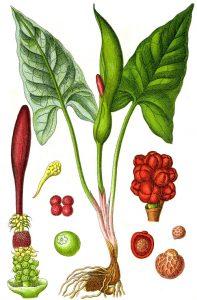 Брей Tamus communis L.