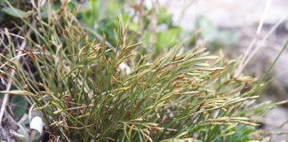 Северно изтравниче Asplenium septentrionale