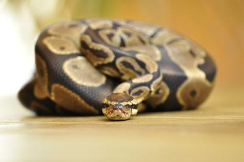 Значение на основните символи в съня - Сънища за змии
