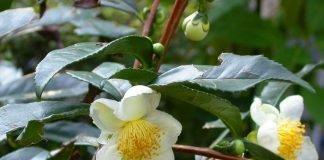 Китайски чай Camellia sinensis (L.) O. Kuntze (Thea sinensis L.)