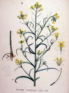 Разклонена боянка Erysimum diffusum Ehrh.