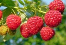 Малина Rubus Idaeus
