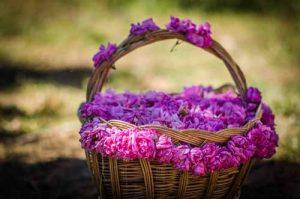 Казанлъшка маслодайна роза Rosa daraascena auct, non Mill