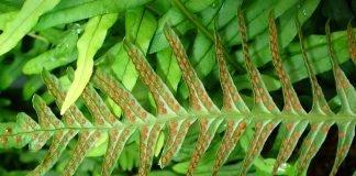 Волски език Phyllitis scolopendrium