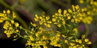 Пиренейски пореч Rorippa pyrenaica (L.) Rchb.