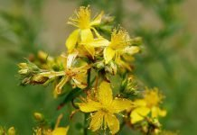 Жълт кантарион (звъника) Hypericum Perforatum