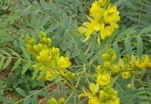 Сена (касия) Cassia senna L.(Cassia acutifolia Del) и Cassia angustifolia Vahl