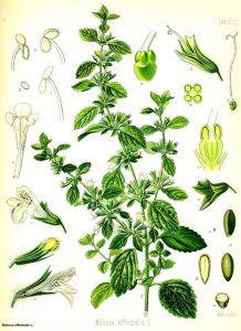 Маточина (лимонче) Melissa Officinalis