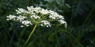 Анасон Pimpinella anisum L.