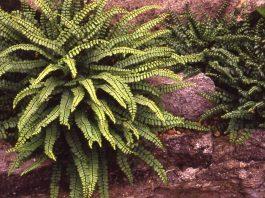Обикновено изтравниче Asplenium trichomanes