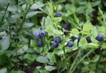 Черна боровинка Vaccinium myrtillus L