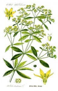 Брош Rubia tinctorum L.