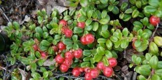 Червена боровинка Vaccinium vitis-idaea L.