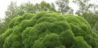 Крехка върба Salix fragilis L.