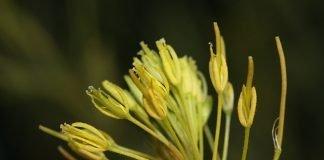 Войничица Descurainia sophia (L.) Webb