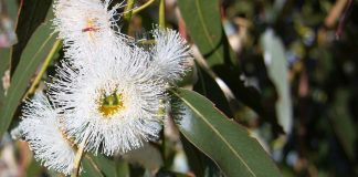 Евкалипт Eucalyptus globulus Labill.