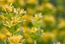 Жълта тинтява Gentiana Iutea L.