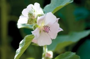 Лечебна ружа Althaea officinalis L