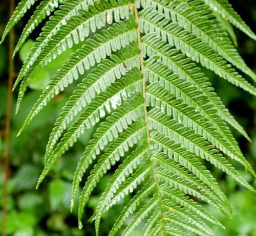 Мъжка папрат Aspidium filix - mas (L.) Schott