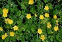 Пълзящо лютиче Ranunculus repens L.