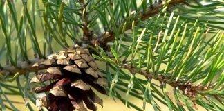Бял бор Pinus sylvestris