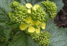 Черен синап Brassica nigra (L.) Koch (Sinapis nigrs L.)
