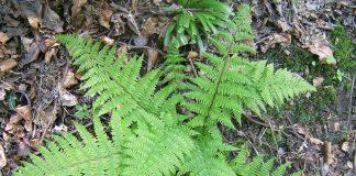 Женска папрат Athyrium filix - femina (L.)Roth.