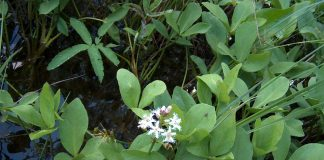 Водна детелина Menyanthes trifoliata L. Menyanthace