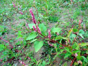 Водно пипериче Persicaria Hydropiper