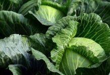 Главесто зеле Brassica oleracea L. var capitata L.